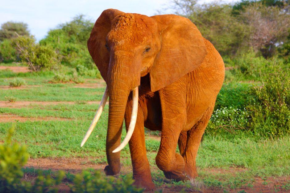 Roter Elefant in der Steppe